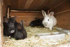 Conigli di allevamento immagini stock