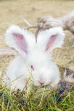 Conigli di angora che mangiano un'erba Immagine Stock