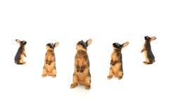 Conigli di Brown Immagini Stock