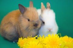 Conigli e fiori del dente di leone immagine stock