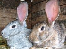 Conigli grigi e marroni Fotografie Stock Libere da Diritti