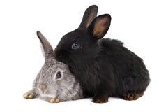 Conigli isolati Fotografie Stock Libere da Diritti