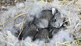 Conigli neonati di allevamento su un'azienda agricola stock footage