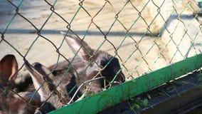 Conigli neri che mangiano erba Fotografia Stock