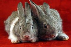 Conigli spaventati Immagine Stock Libera da Diritti