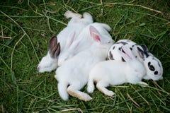 Conigli svegli del bambino Fotografie Stock