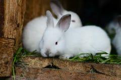 Conigli svegli nella tettoia Immagini Stock