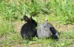 Conigli svegli neri e grigi del bambino sull'erba Immagini Stock