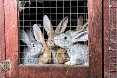 Conigli in un hutch Immagine Stock