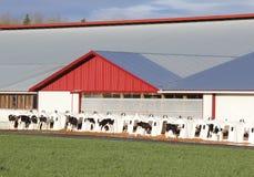 Conigliere e vitelli del vitello Fotografia Stock