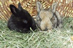 Coniglietti Fotografia Stock