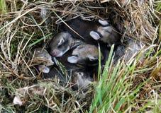Coniglietti del bambino Fotografia Stock