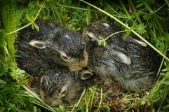 Coniglietti del bambino su erba verde Fotografie Stock