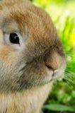Coniglietto immagine stock libera da diritti