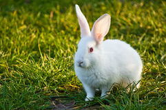 Coniglietto bianco Immagini Stock