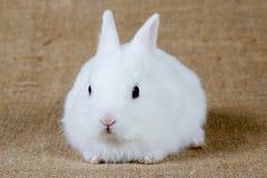 Coniglietto bianco Immagini Stock Libere da Diritti