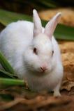 Coniglietto bianco Fotografie Stock