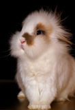 Coniglietto bianco della testa del leone Fotografia Stock