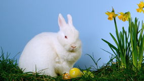 Coniglietto bianco lanuginoso che fiuta le uova di Pasqua oltre ai narcisi stock footage