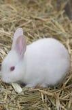 Coniglietto bianco molto piccolo Immagine Stock