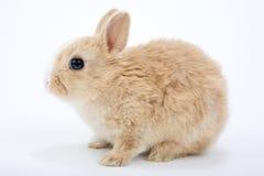 coniglietto Brown-bianco Immagini Stock