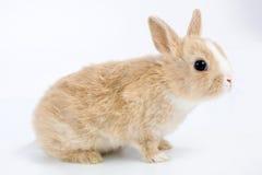coniglietto Brown-bianco, isolato sopra Fotografia Stock Libera da Diritti