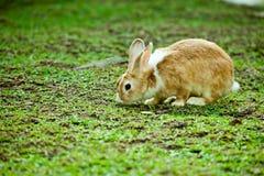 Coniglietto che mangia erba Immagini Stock