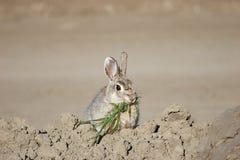 Coniglietto con il pranzo Fotografia Stock Libera da Diritti