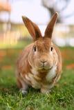 Coniglietto del Brown all'esterno fotografie stock libere da diritti