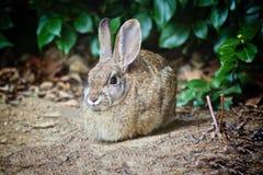 Coniglietto del coniglio Immagine Stock