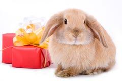 Coniglietto di Lop e un contenitore di regalo Fotografia Stock