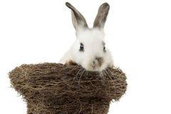 Coniglietto di pasqua bianco all'interno di un nido Immagine Stock Libera da Diritti