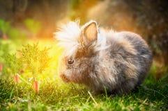 Coniglietto di pasqua lanuginoso sul prato soleggiato con le carote in giardino Fotografia Stock Libera da Diritti