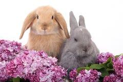 Coniglietto due fra il lillà immagini stock