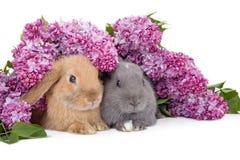 Coniglietto due fra il lillà Fotografia Stock Libera da Diritti