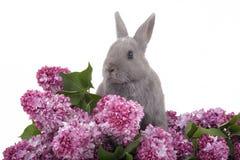 Coniglietto fra il lillà viola Fotografia Stock Libera da Diritti
