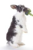 Coniglietto grigio che mangia un broccolo, isolato Fotografie Stock Libere da Diritti
