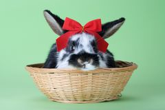 Coniglietto macchiato con il legame di arco rosso, isolato Fotografia Stock Libera da Diritti