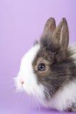 Coniglietto macchiato isolato sulla porpora Fotografia Stock Libera da Diritti