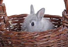 Coniglietto nano grigio del bambino Fotografie Stock