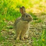 Coniglietto nell'erba Immagini Stock Libere da Diritti