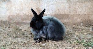 Coniglietto nero Immagine Stock
