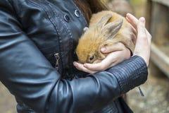 Coniglietto rosso in mani delle donne Fotografia Stock Libera da Diritti