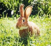 Coniglietto sorridente in erba verde Fotografia Stock