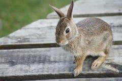 Coniglietto sulla piattaforma Fotografie Stock Libere da Diritti