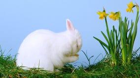 Coniglietto sveglio bianco che graffia il suo naso accanto ai narcisi archivi video