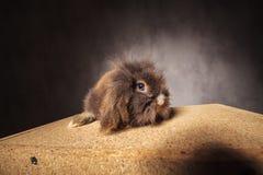 Coniglietto sveglio del coniglio della testa del leone che si siede su una scatola di legno Fotografia Stock