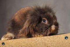 Coniglietto sveglio del coniglio della testa del leone che si trova su una scatola di legno, Fotografia Stock Libera da Diritti