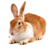 Coniglio Fotografia Stock Libera da Diritti