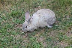 Coniglio, addomesticato fotografia stock libera da diritti
